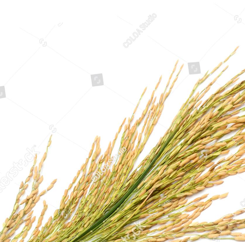 Rice BG
